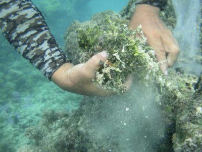 Collecte de macro-algues