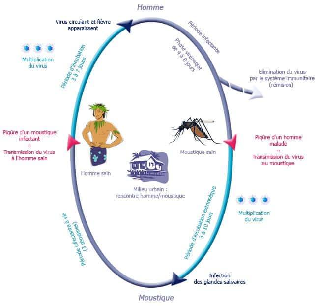 Le cycle de transmission de la dengue